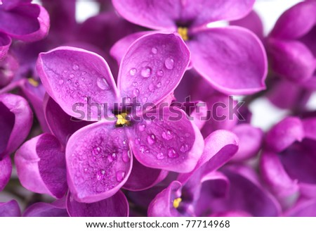 a macro of lilac with drop - stock photo