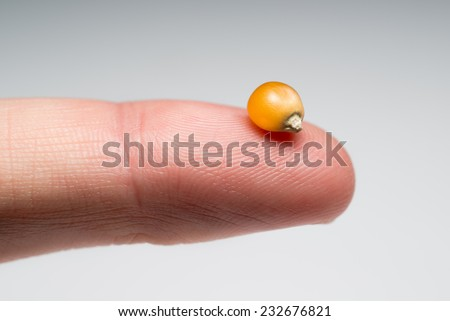 A macro photo of a single kernel of popping corn resting on a person's index finger against a gray gradient background.  - stock photo
