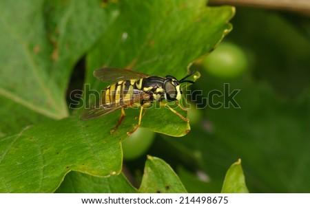 A macro photo of a Wasp mimic Hoverfly - stock photo