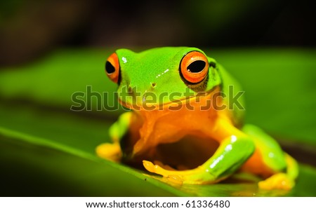 A macro shot of a beautiful Australian Orange thighed Tree frog, Litoria xanthomera, sitting on a leaf. - stock photo