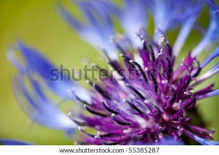 A macro shot of a beautiful Mountain Cornflower (Centaurea montana). - stock photo