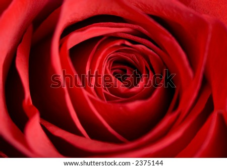 A macro shot of a beautiful red rose.... the perfect valentine gift...roses are love.