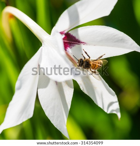 A macro shot of a bee collecting pollen from an acidanthera bloom. - stock photo