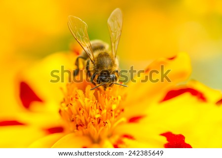 A macro shot of a bee pollinating a marigold (tagetes) flower - stock photo