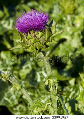 a macro shot of a blooming thistle plant