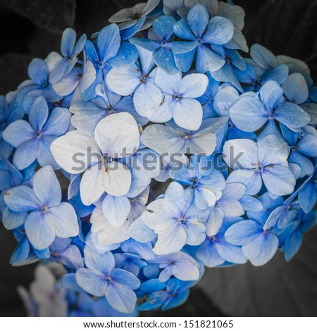 A macro shot of a blue hydrangea bloom.