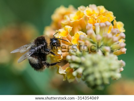 A macro shot of a bumblebee enjoying the pollen from a butterfly bush bloom. - stock photo