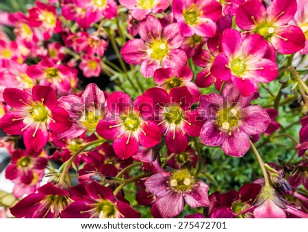 A macro shot of a collection of saxifraga blooms. - stock photo