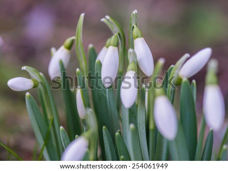 A macro shot of a collection of snowdrop blooms. - stock photo
