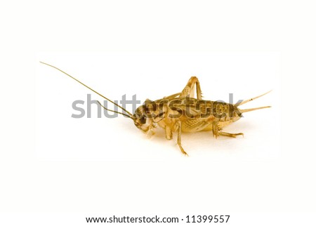 a macro shot of a cricket on a white background.
