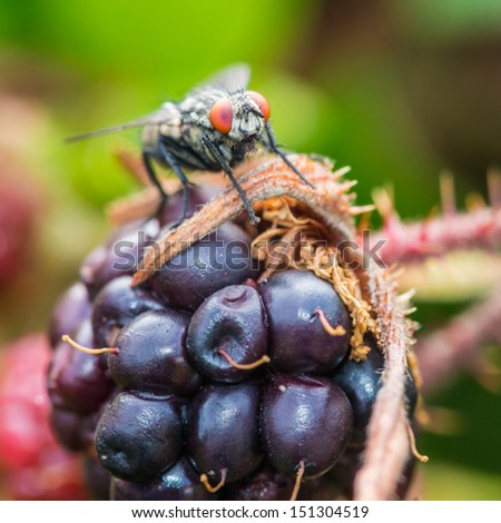 A macro shot of a fly sitting atop a large bramble fruit. - stock photo