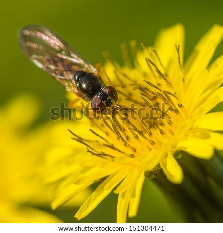 A macro shot of a hoverfly collecting pollen from a yellow weed.