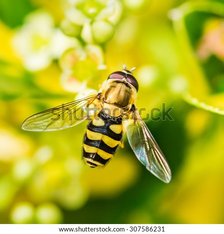 A macro shot of a hoverfly sitting in the leaves of a privet hedge. - stock photo