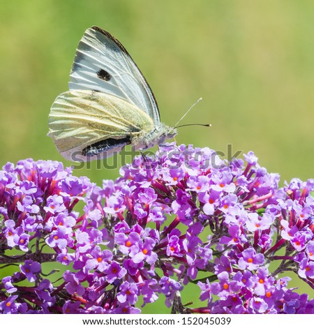 A macro shot of a large white butterfly collecting pollen from a buddleia bush. - stock photo