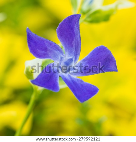 A macro shot of a periwinkle bloom. - stock photo