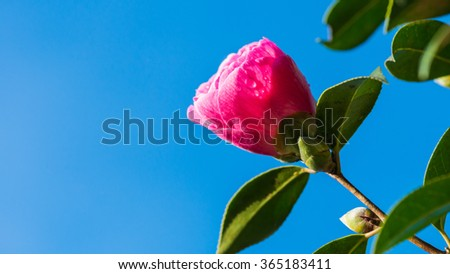 A macro shot of a pink camellia bush flower bud against a bright blue sky. - stock photo