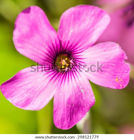 A macro shot of a pink oxalis bloom. - stock photo
