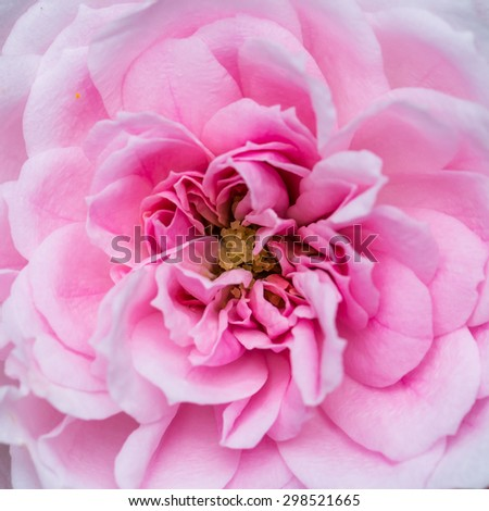 A macro shot of a pink patio rose bloom. - stock photo