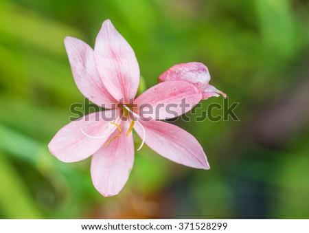 A macro shot of a pink schizostylis coccinea bloom. - stock photo