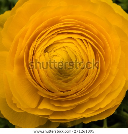 A macro shot of a pretty ranunculus bloom. - stock photo