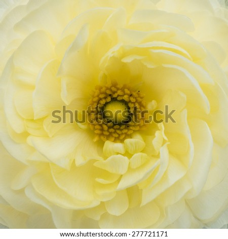 A macro shot of a ranunculus bloom. - stock photo