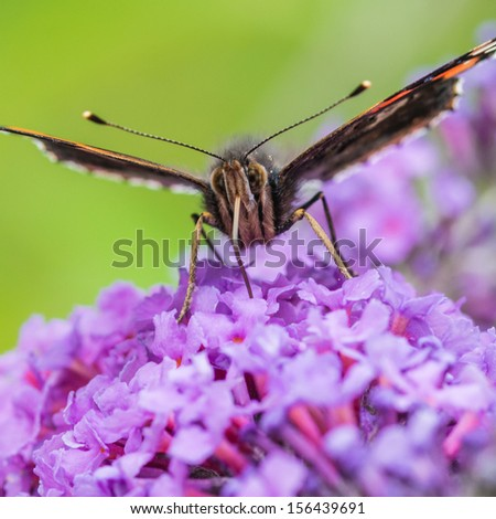 A macro shot of a red admiral butterfly atop a butterfly bush. - stock photo