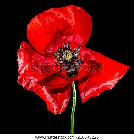 A macro shot of a red poppy shot against a black background.