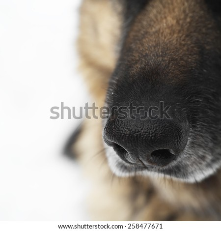 A macro shot of a shepherd dog nose, outdoor square shot with shallow depth of field - stock photo