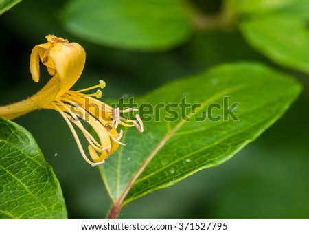 A macro shot of a single yellow honeysuckle bloom with an attached arachnid. - stock photo