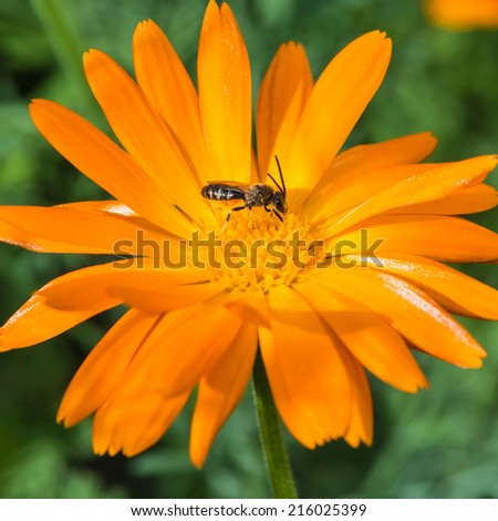 A macro shot of a small bee collecting pollen from a calendula bloom.