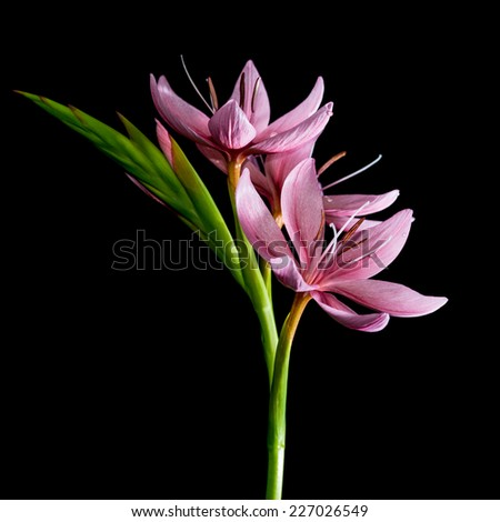 A macro shot of a small pink lily taken against a black background. - stock photo