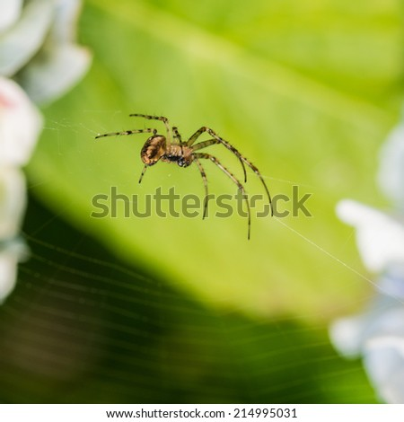 A macro shot of a small spider hanging in front of a hydrangea leaf.