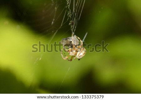 A macro shot of a spider wrapping a fly in a cocoon. - stock photo
