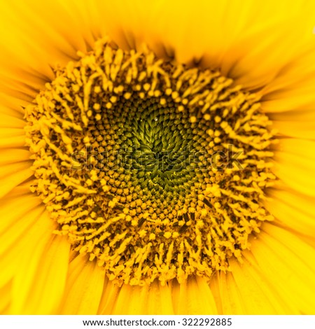 A macro shot of a sunflower bloom. - stock photo