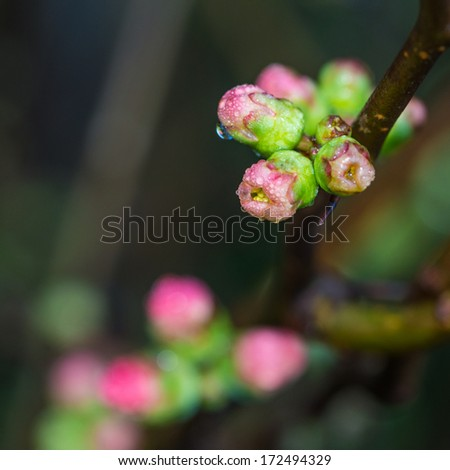 A macro shot of a wet quince flower bud. - stock photo