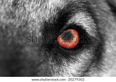 A macro shot of a wolf or dog with a red eye - stock photo