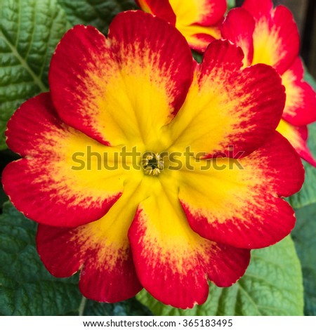 A macro shot of a yellow and red primrose bloom. - stock photo