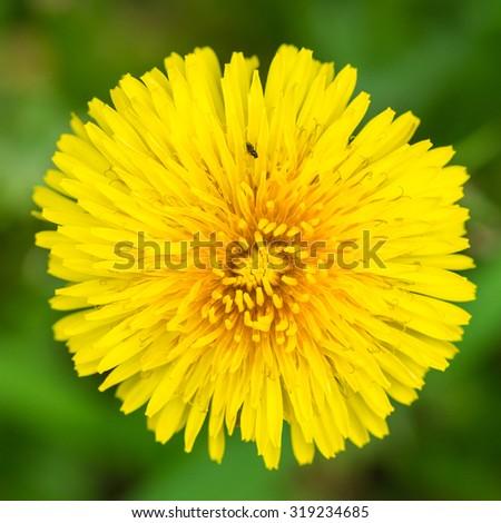 A macro shot of a yellow dandelion bloom. - stock photo