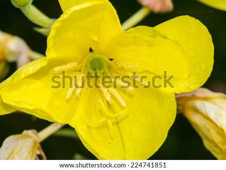A macro shot of a yellow evening primrose bloom. - stock photo