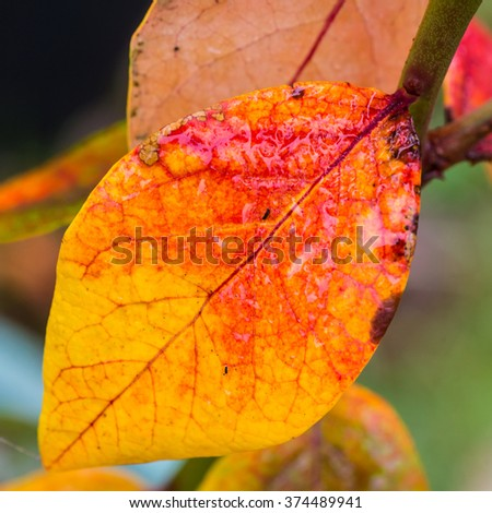 A macro shot of an autumnal looking blueberry bush leaf. - stock photo