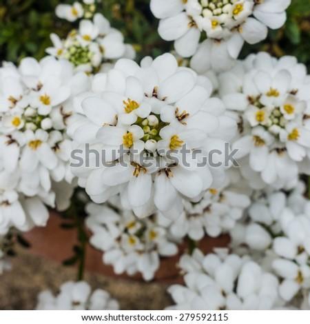 A macro shot of an iberis bloom. - stock photo
