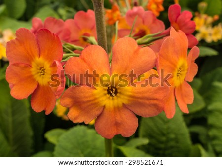 A macro shot of an orange primula bloom. - stock photo