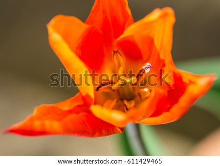 A macro shot of an orange tulip ballerina bloom.