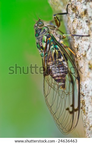 A macro shot of cicada on green background