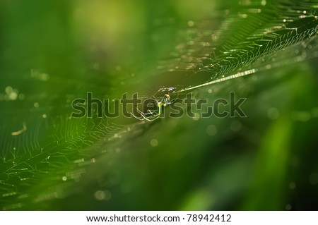 a Macro shot of Golden silk orb-weaver spider (banana spider) (Nephila spp.) - stock photo