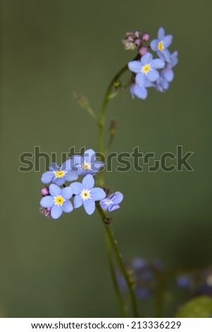 A macro shot of some blue forget me not blooms - shallow focus  - stock photo