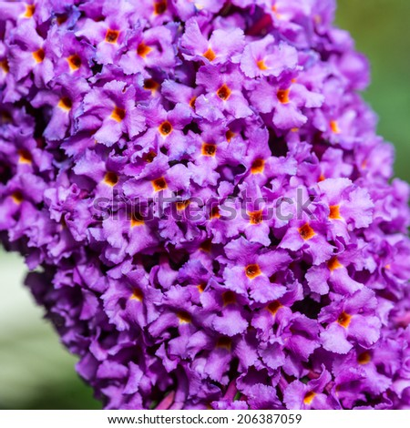 A macro shot of some butterfly bush blooms. - stock photo