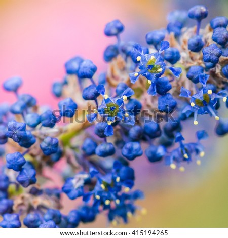 A macro shot of some ceanothus bush blossom.