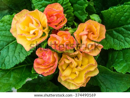 A macro shot of some colourful primula blooms. - stock photo