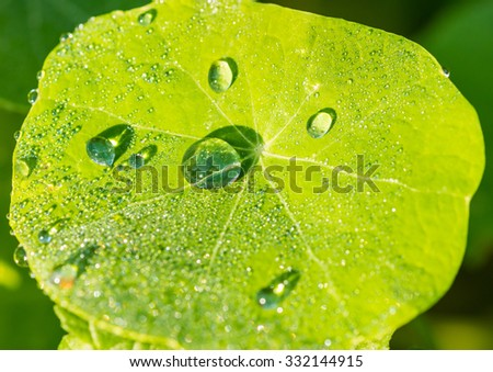A macro shot of some dewdrops glistening in the sunlight atop a nasturtium leaf. - stock photo